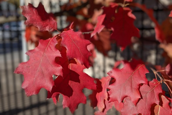 Brilliant Red Oak leaves