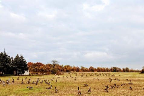 Hundreds of geese