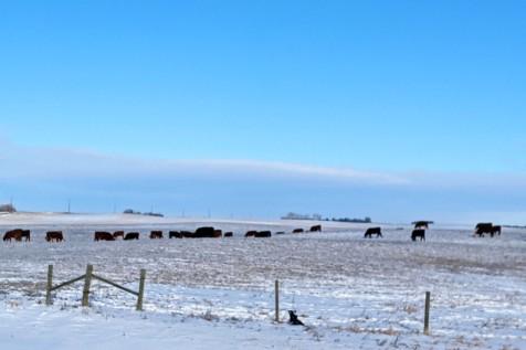 Black cows