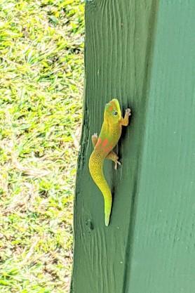 Wee gecko