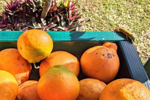 Wee gecko near fresh picked oranges