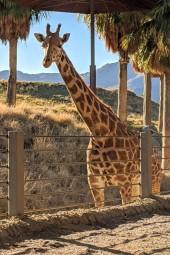 LivingDGiraffe
