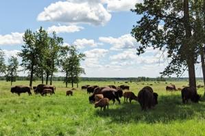 Buffaloherds