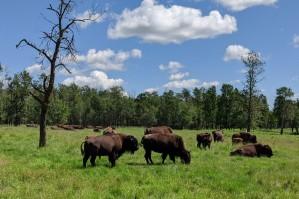 BuffaloHerds2