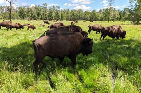 BuffaloHerds3
