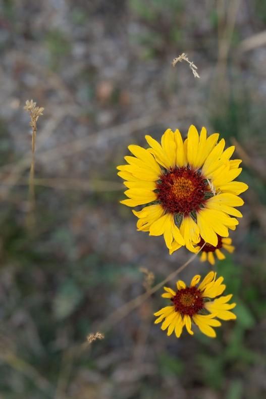 JasperWildflowers