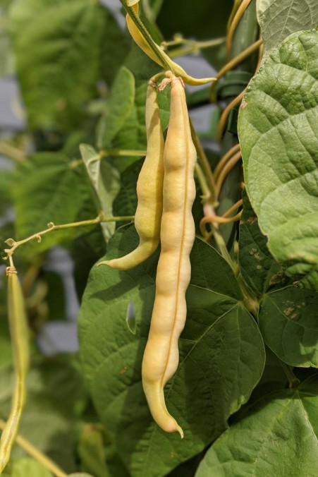 YellowBeans